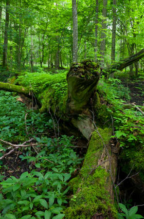 Fresh deciduous stand of Bialowieza Forest in springtime with dead broken oak in foreground