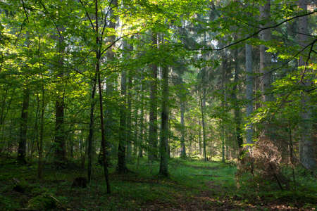 Early autumn morning in Bialowieza Forest and path crosing mixed stand