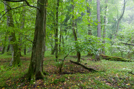 Rich deciduous stand in heavy rain with old moss wrapped hornbeams in foreground