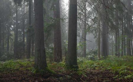 primeval forest: Coniferous trees against light of misty sunrise morning Stock Photo