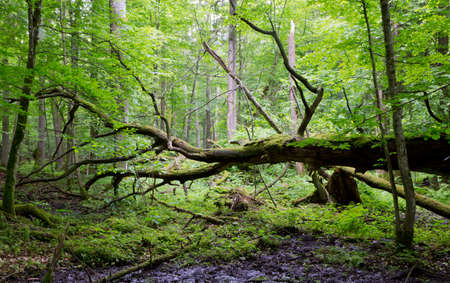 Old oak tree broken lying and old natural deciduous stand of Bialowieza Forest in background