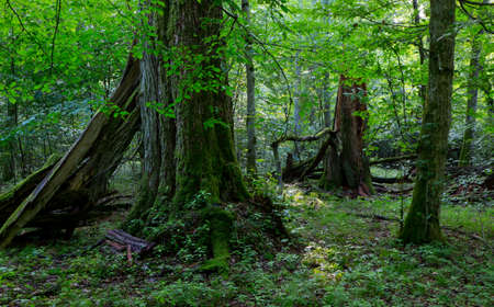 Group of old trees in natural forest in summertime morning with moss wrapped linden tree in foreground
