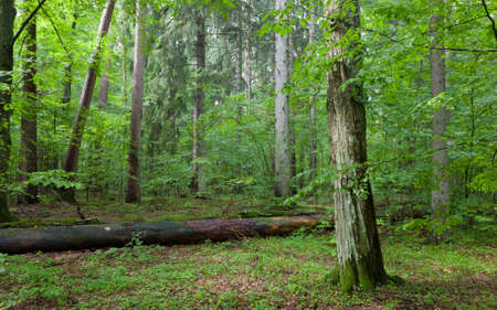 Old Hornbeam Tree in mixed stand of Bialowieza Forest and broken old Pine behind summer rain after