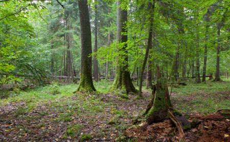 Broken spruce stump partly declined against old natureal mixed stand of Bialowieza Forest