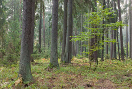 Misty late summer coniferous stand of Bialowieza Forest at sunrise