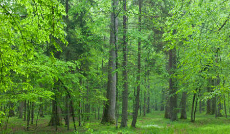 Old oaks in summer misty deciduous stand of Biaowieza Forest