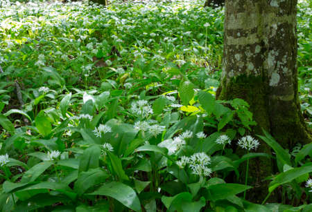 Flowering ramsons in spring next to hornbeam tree trunk Reklamní fotografie