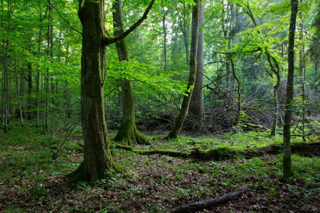 Old hornbeam moss wrapped and old natural deciduous stand of Bialowieza Forest in background
