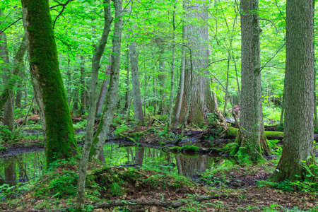 Moss wrapped trees by water in old natural summertime deciduous stand of Bialowieza Forest Reklamní fotografie