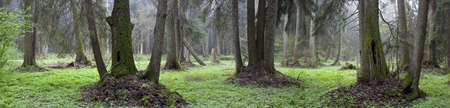 Natural Bialowieza Forest in Bialowieza Forest, Poland, Europe