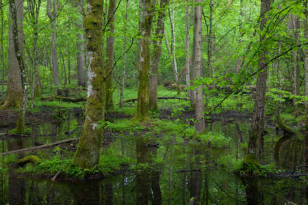 Springtime wetdeciduous stand of Bialowieza Forest with standing water,Poland,Europe