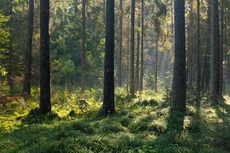 Herfst ochtend met zonnestralen het invoeren van het bos tussen de dennen en sparren, Bialowieza, Polen, Europa Stockfoto