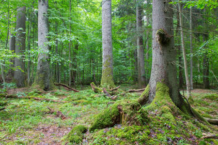 Group of old spruces inside deciduous stand of Bialowieza Forest,Poland,Europe