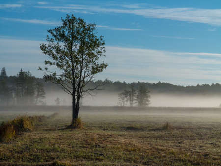 Alder tree in morning with mist over meadow horizon, Bialowieza Forest, Pland, Europe Stock Photo