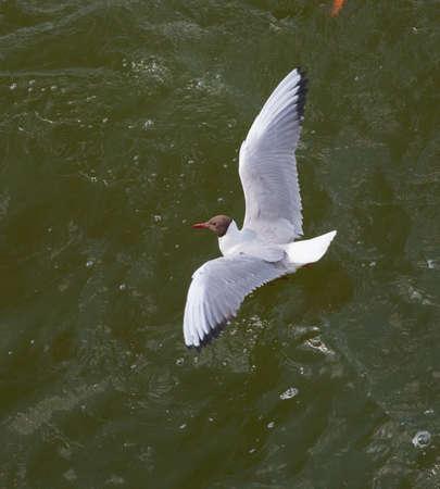 The black-headed gull(Chroicocephalus ridibundus) in green water, Mazurien Region, Poland, Europe Stock Photo