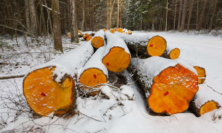 Stack of alder tree logs under snow by road, Bialowieza Forst, Poland, Europe