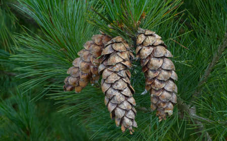 Eastern white pine dry open cones, northern white pine, white pine, Weymouth pine (British), Soft Pine, Poland, Europe