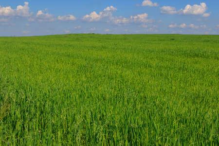 Fresh green field of juvenille grain and cloudy blue sky in early summer,Podlasie Region,Poland,Europe Reklamní fotografie