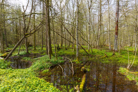 Alder-carr stand in springtime with water and anemone flowering in foreground Banque d'images - 91536521