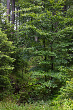 Fir and beech trees in summertime forest,Bieszczady Ridge,Poland,Europe Stock fotó - 103865795