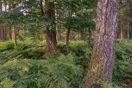 Deciduous forest with ferns and old birch tree in foreground, Bialowieza Forest, Poland, Europe Stock Photo