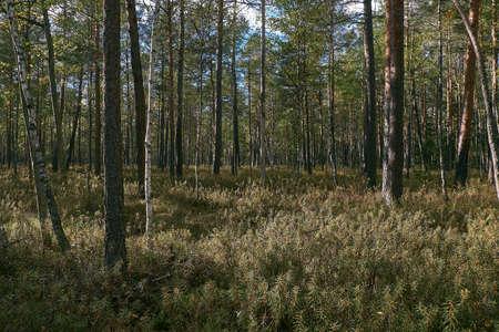 Coniferous bog forest in autumn