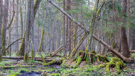Springtime landscape of old forest and water in morning, Bialowieza Forest, Poland, Europe