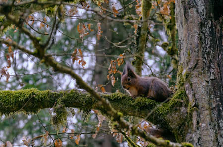 Eurasian Red Squirrel sitting on hornbeam branch in early spring, Bialowieza forest, Poland, Europe