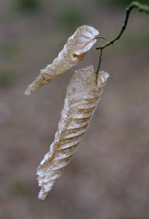 Two dry hornbeam leaves close up against fuzzy background, Bialowieza Forest, Poland, Europe