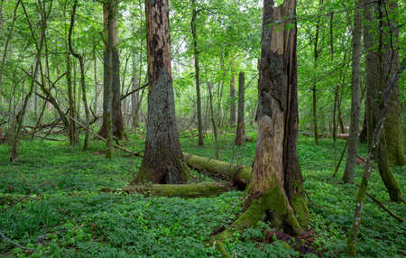 Summertime midday deciduous forest with dead spruce trees, Bialowieza Forest, Poland, Europe Imagens
