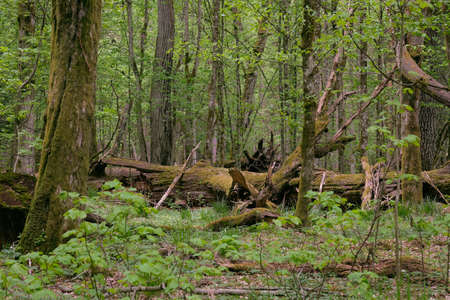 Deciduous stand with hornbeams and oak in springtime midday, Bialowieza Forest, Poland, Europe 版權商用圖片