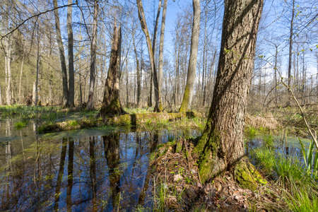 Springtime alder-bog forest in sun with flood water, Bialowieza Forest, Poland, Europe Stock Photo