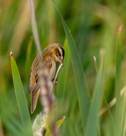 Sedge warbler (Acrocephalus schoenobaenus) on reed in summer, Podlasie Region, Poland, Europe