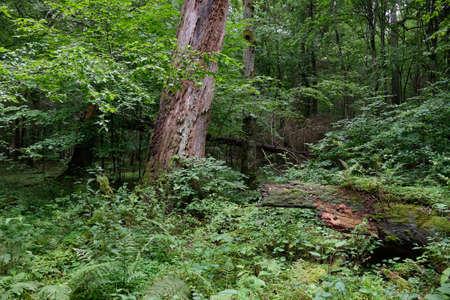Dead linden tree stump in summer among juvenile hornbeam trees around, Bialowieza Forest, Poland, Europe Stok Fotoğraf