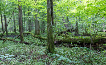 Group of old trees and broken one in old natural deciduous tree stand, Bialowieza Forest, Poland, Europe