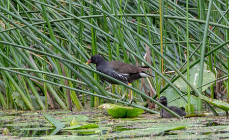 Common Moorhen adult with nestling in summer among reed, Bialowieza Forest, Poland, Europe Reklamní fotografie
