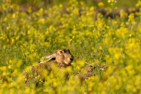 Hare's head in the light of the rising sun in summer among fuzzy yellow flowers, Podlasie Region, Poland, Europe Standard-Bild