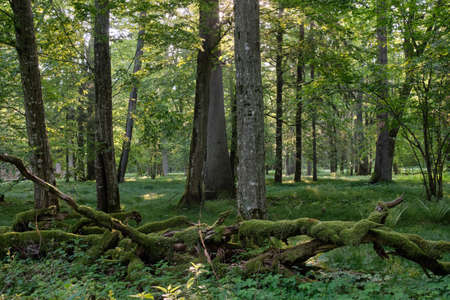 Rich deciduous forest in morning with old trees and broken tree debris moss wrapped in foreground, Bialowieza Forest, Poland, Europe Stock Photo
