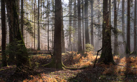 Sunbeam entering mixed forest stand in morning, Bialowieza Forest, Poland, Europe Standard-Bild