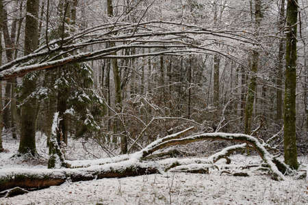 Wintertime landscape of snowy deciduous stand with oak and hornbeam trees in foreground, Bialowieza Forest, Poland, Europe Reklamní fotografie