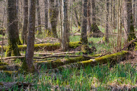 Frash Alder tree mixed forest in springtime morning with sunlight entering, Bialowieza Forest, Poland, Europe