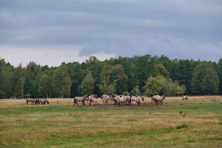 Tarpan like Polish Horses herd walking in summer, Pape Lake, Latvia, Europe