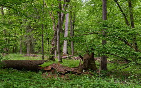 Rich deciduous stand in spring with broken maple tree in foreground, Bialowieza Forest, Poland, Europe