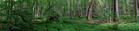Springtime old deciduous forest panorama with alder trees and ground elder bottom, Bialowieza Forest, Poland, Europe Stock fotó