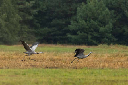 two take off cranes in summertime meadow, Podlaskie Voivodeship, Poland, Europe