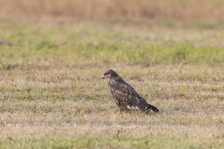 Common buzzard (Buteo buteo in autumn meadow against fuzzy background, Podlasie Region, Poland, Europe