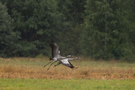 Two take off cranes in summertime meadow, Podlaskie Voivodeship, Poland, Europe Reklamní fotografie