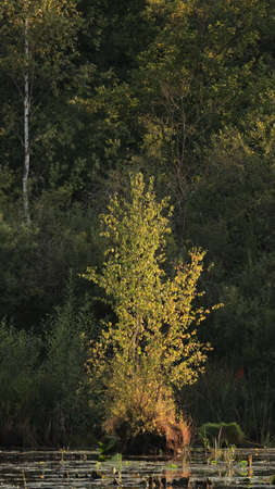 Juvenile Common silver birch tree (Betula pubescens) in susnset light, Bialowieza Forest, Poland, Europe