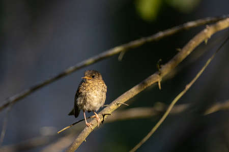 Juvenile Eurasian Wren (troglodytes troglodytes) on branch in mornin light portrait, Bialowieza Forest, Poland, Europe
