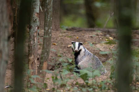 European Badger (Meles meles) in fall next to his burrow, Bialowieza forest, Poland, Europe
